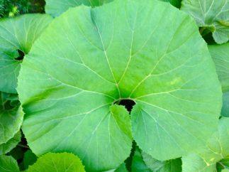 Giant Leaf, Japanese Garden, Cranbrook