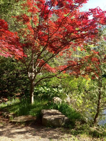 Red Tree, Japanese Garden, Cranbrook