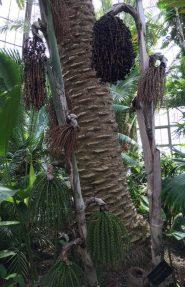Unusual Palm Tree