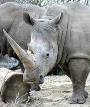 Detroit Zoo Rhinocerosrous
